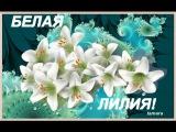 БЕЛЫЕ ЛИЛИИ--Ярослав Евдокимов