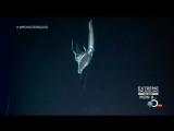 Гигантский кальмар Architeuthis от 27 января 2013. (ориг.