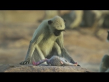 Langur monkeys grieve over fake monkey - Spy in the Wild_ Episode 1 Preview - BB