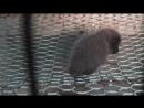 Маленький чернобурый лисенок не может ходить, потому что дыры в клетке на меховой ферме слишком большие для его маленьких лапок