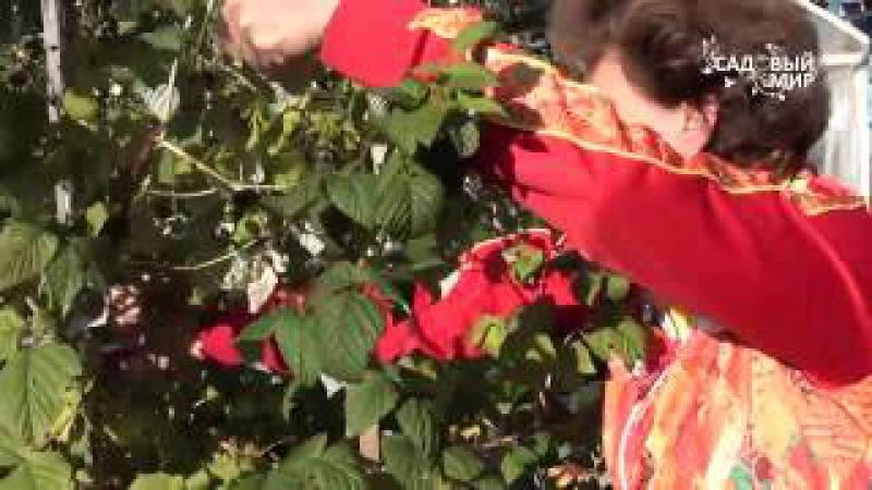 Осенняя обрезка малины и смородины. Сайт Садовый мир