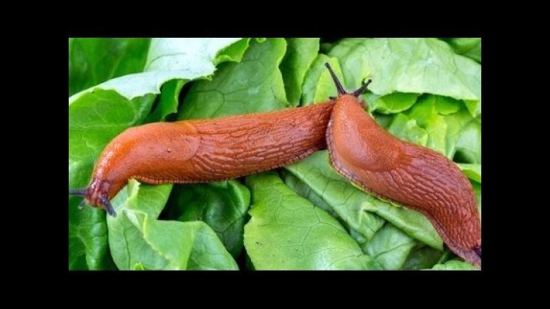 Слизни. Простой метод борьбы со слизнями на огороде /Slug control/