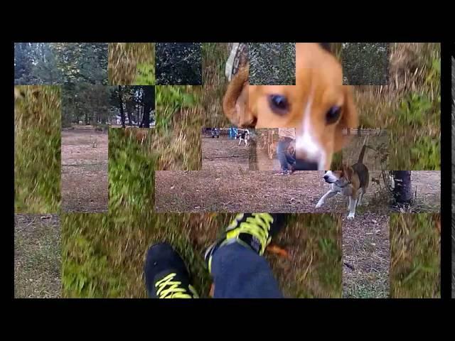 Бигль встреча 18 09 2016 Beagle Meeting 18 09 2016