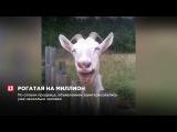 Житель Кировской области продает козу за миллион рублей