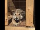 Волчонок просит забрать его домой.