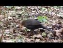 Чёрный дрозд (самка)