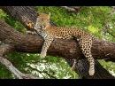 Жизнь Необычного Леопарда. Документальный фильм