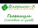 Цветы гелениум – посадка и уход выращивание гелениума из семян гелениум осенний