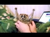 Лемуры самые милые животные в мире21