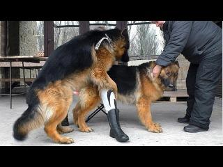 Ждем щенков. Вязка Немецких овчарок Гранда и Дагиры. Mating German shepherds. Expected puppies.