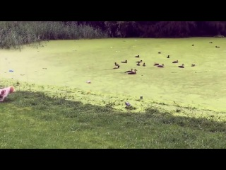 Duck, duck, goose. Digby learns about grass