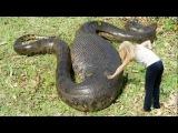 งูใหญ่ที่สุดในโลก - Giant Anaconda, Biggest Python
