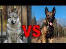 Волк против собаки. Кто быстрее Wolf VS Dog