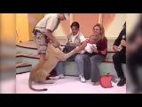 Лев пытается убить ребенка в прямом эфире ,а мать просто смеется