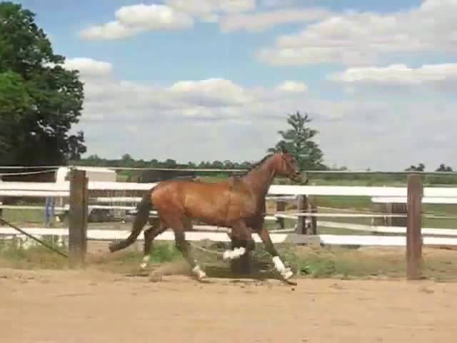 9yo gelding KWPN by Krack C