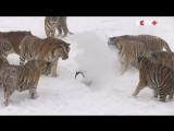 Амурские_тигры_из_китайского_зоопарка_устроили_охоту_на_дроныJust_Video92