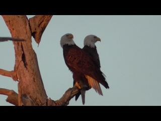 SWFL Eagles_Harriet M15 On Alert~M15 Adds Sticks Grasses 01-12-17