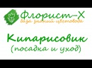 Растение кипарисовик посадка и уход виды и сорта кипарисовика выращивание кипарисовика