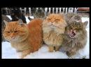 Winter in Koshlandia Зима в Кошляндии Siberian Farm cats Деревенские кошки