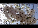 Весна. Цветёт вишневый сад. Прекрасный вишни белый цвет!