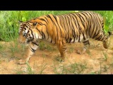 A hungry tiger came to bus for eat some thing. we should  to see tiger this way JUNGLE &amp ANIMALS