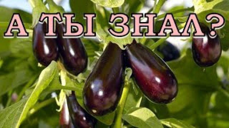 10 заповедей для выращивания баклажанов