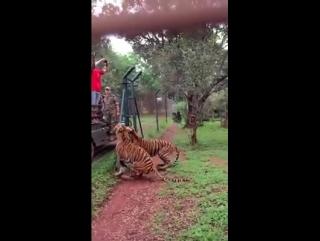 tygrys azjatycki
