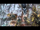 Hornets and Yellowjackets Fighting For Food