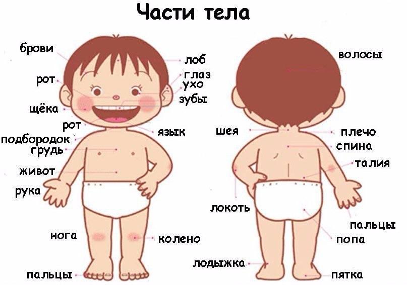 Изучаем части тела