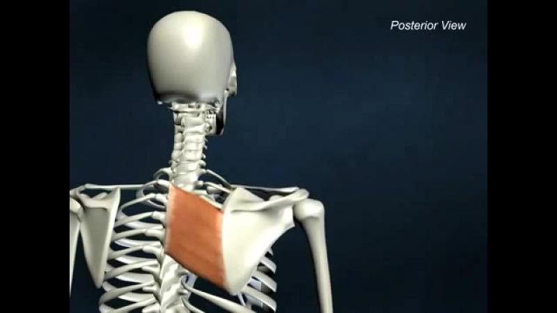 Большая ромбовидная - анатоми