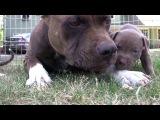 Щенки Питбультерьер(4 недели) их мама и кошка.Pit Bull Puppies.