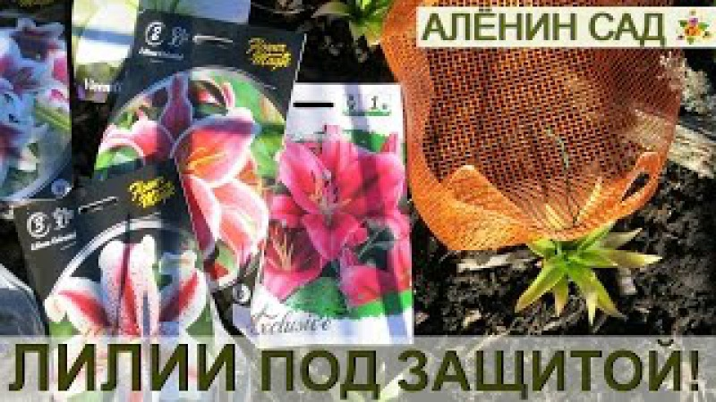 ЛИЛИИ в корзинках - 100% ЗАЩИТА от мышей и водяных крыс / Посадка лилий весной