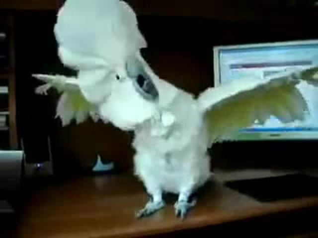 Попугай рокер) · coub, коуб