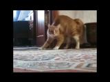 Кот ходит на задних лапах (1)