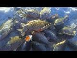 Крупный карась зимой Здоровенные лапти на мормышку Рыбалка 13.11.2016
