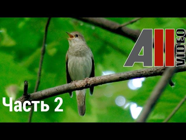 Пение соловья 2 Голоса птиц Nightingale song