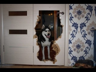 Хаски устояли погром в квартире аляскинский маламут, лайки, сибирский хаски