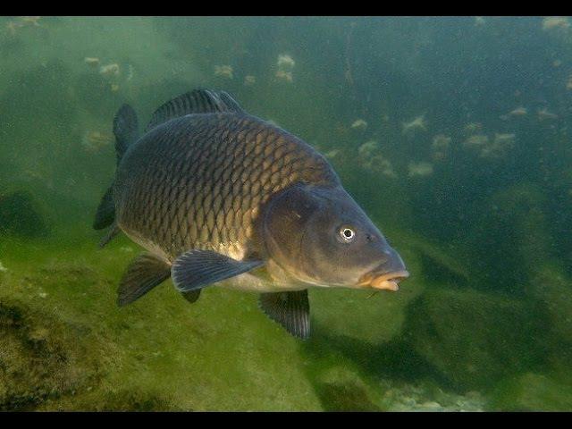 Ловля сазана, карпа, белого амура. Подводные съемки высокого качества! Carp Fishing!
