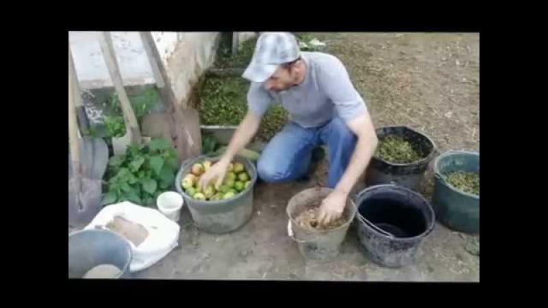 Бюджетное кормление вьетнамских свиней и поросят.