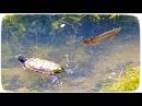 Арована, змееголов и черепаха в Сингапурском пруду