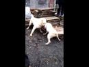 Волкодав vs Аргентинский дог 18 собачьи бои