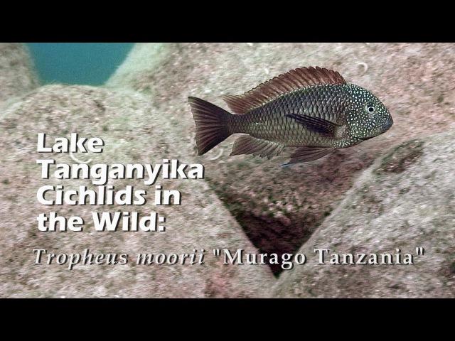 Lake Tanganyika Cichlids in the Wild: Tropheus moorii Murago Tanzania