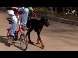 Доберман пинчер особенности воспитания и дрессировки собак этой породы