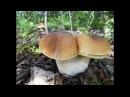Белых грибов много не бывает их бывает очень много