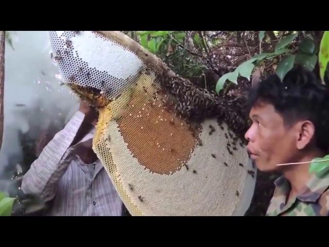 Сбор меда гигантских медоносных пчёл в джунглях Камбоджи. Honey Hunters of Cambodia (2016)