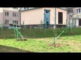 В Одинцово вандалы сломали саженцы молодых деревьев