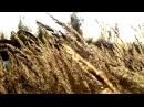 Gold spikelets Золотые колоски