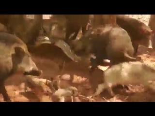 Стадо свиней отомстило питону за кабаненка (VHS Video)