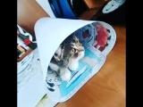 Апрелька мешает творчеству. Фараон. Мотая на кисть. @lkasp киса кошка прикол ахаха кот смешно видео популярное творчество краси