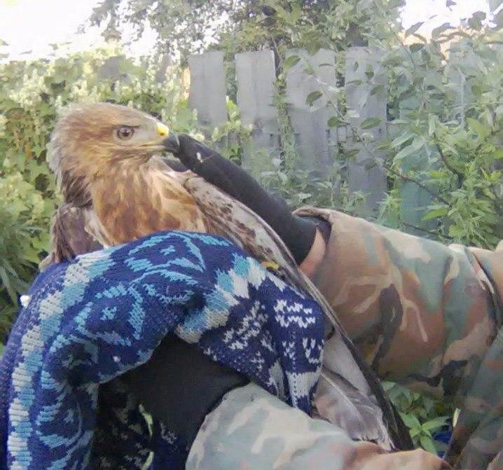 ВОмске отдают вдобрые руки хищную птичку сперебитым крылом